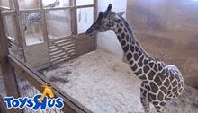 Трансляции жизни жирафа из зоопарка в Нью-Йорке